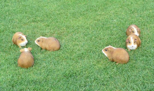 guinea pig lawn critters