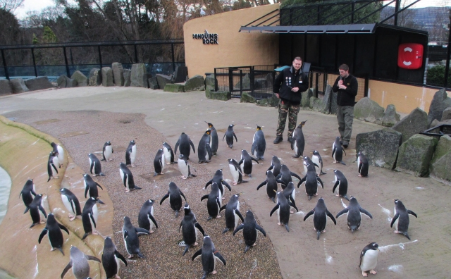 a muster of penguins